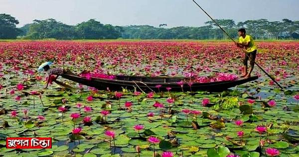রূপগঞ্জে অপরূপা লাল শাপলার বিল শিমুলিয়া