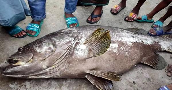 সেন্টমার্টিনে ধরা পড়ল ৯০ কেজি ওজনের বোল মাছ